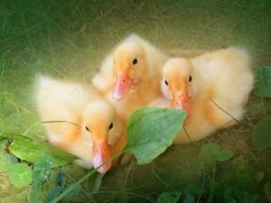 Tres hermosos y pequeños patitos amarillos
