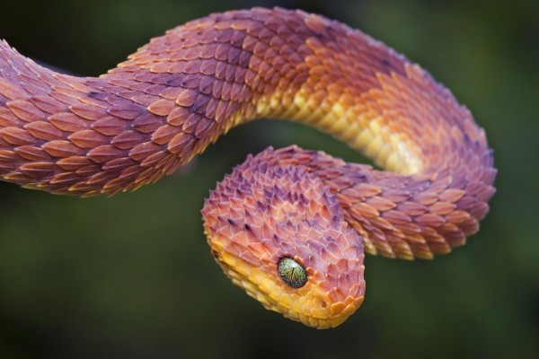 Una serpiente atheris (Atheris squamigera)