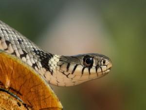 Una serpiente gris, blanca y negra