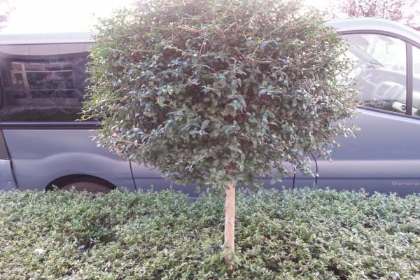 Pequeño árbol redondo