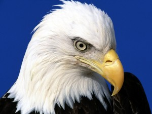 El grueso pico de un águila calva