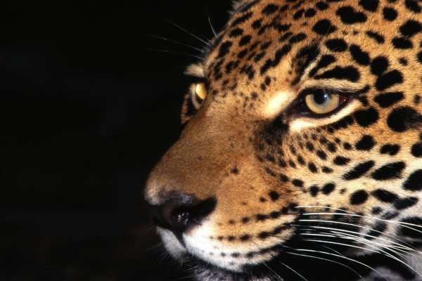 La cara de un jaguar