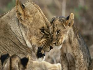 Una leona gruñendo a su cachorro