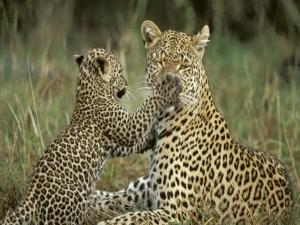 Postal: Un cachorro de leopardo juguetón