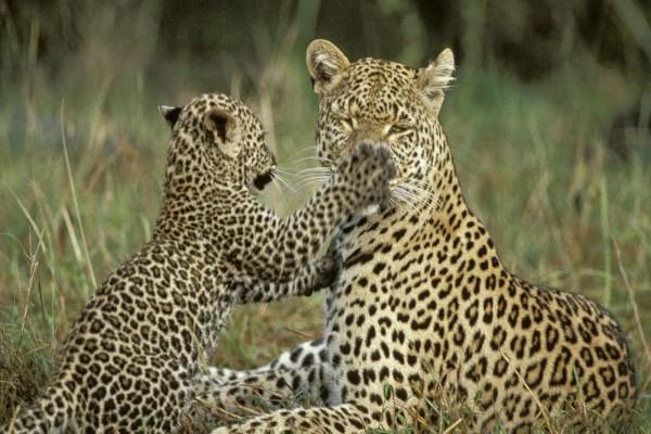 Un cachorro de leopardo juguetón