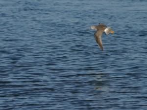 Postal: Un ave de pico largo volando sobre el agua