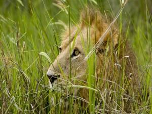 Postal: Un león escondido entre la hierba