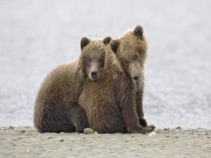 Hermanos osos dándose cariño