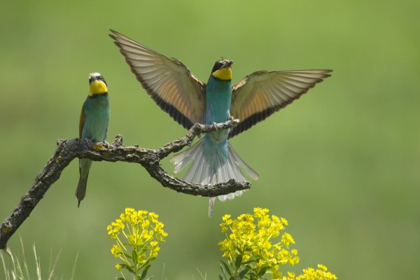Dos pájaros sobre una rama y uno de ellos con comida en el pico
