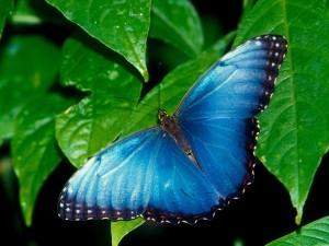 Una mariposa azul sobre las hojas verdes