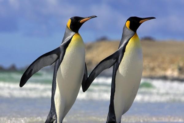 Pareja de pingüinos rey