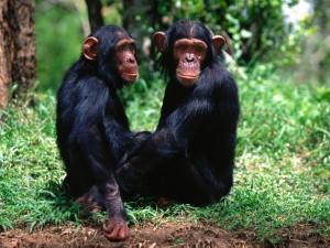 Una pareja de chimpancés sentados en la hierba