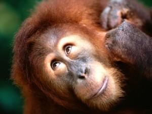 La simpática cara de un orangután