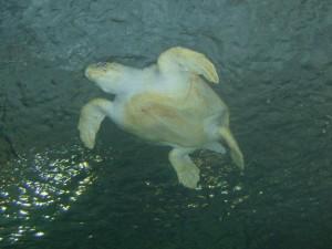 Zona inferior de una gran tortuga marina