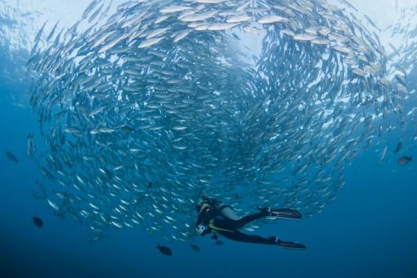 Buceando junto a un banco de peces plateados