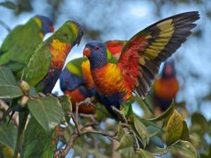 Postal: Un grupo de loris arcoíris sobre un árbol