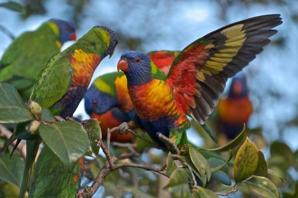 Un grupo de loris arcoíris sobre un árbol