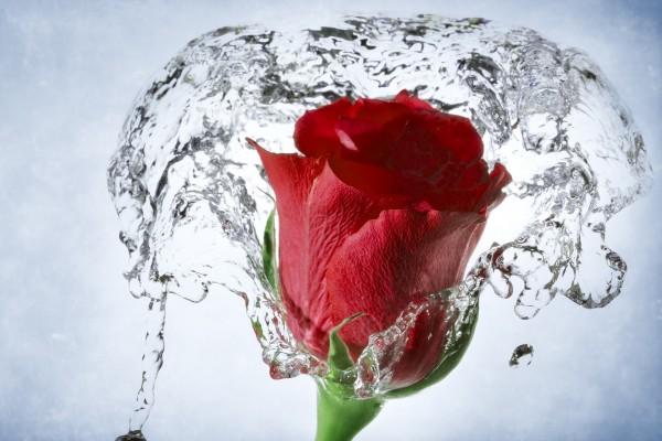 Una rosa roja en el agua