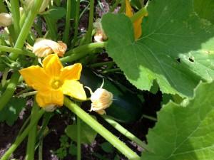 Flores de calabacín en la mata