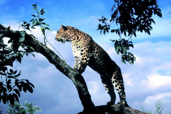 Un leopardo explorando el territorio