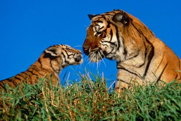 Cachorro de tigre admirando a su madre