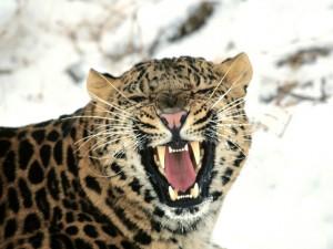 Un leopardo enfurecido en un frío lugar