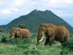 Elefantes caminando por la frondosa hierba