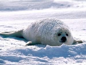 Una joven foca cubierta de nieve