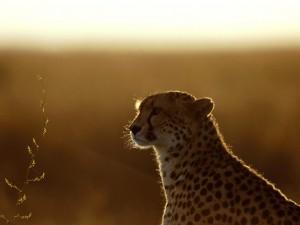 Postal: Un bonito guepardo