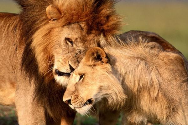 Amor en una pareja de leones
