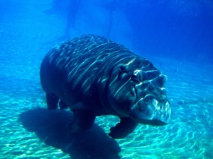Postal: Un hipopótamo bajo el agua