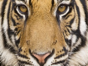 La cara de un gran tigre