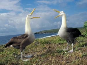 Albatros ondulado en las Galápago
