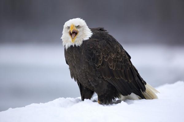 Un águila posada en la nieve