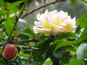 Una gran flor blanca en un árbol frutal