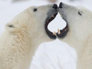 Osos polares con la boca abierta