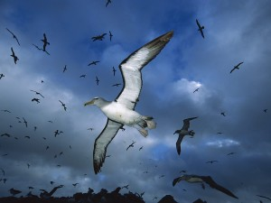 Albatros de Salvin en vuelo