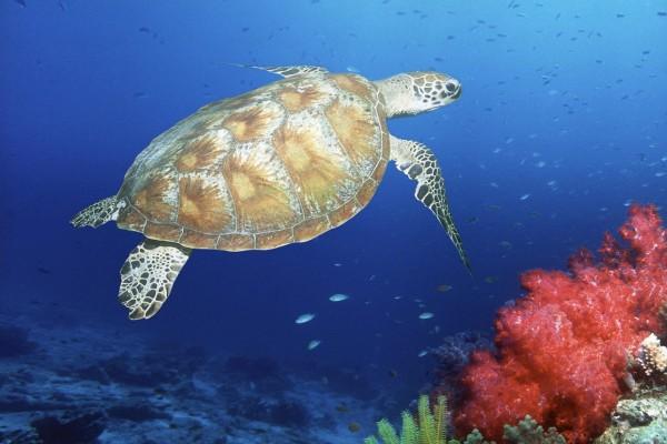 Tortuga verde marina nadando en el océano