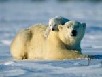 Pequeño oso polar sobre su madre