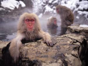 Postal: Macaco japonés calentándose en las aguas termales