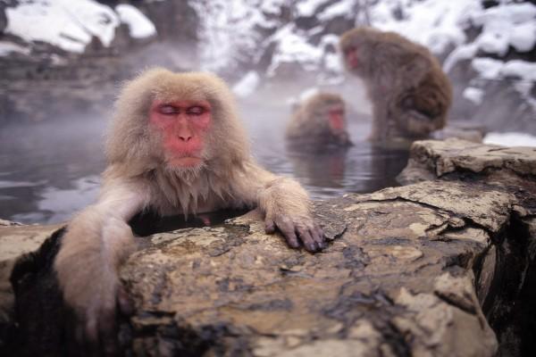 Macaco japonés calentándose en las aguas termales