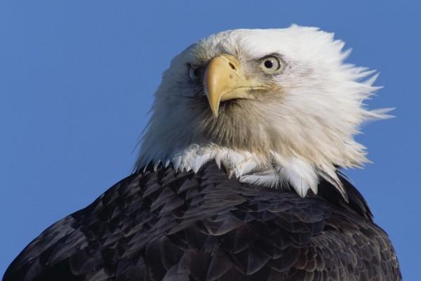 La mirada de un águila calva