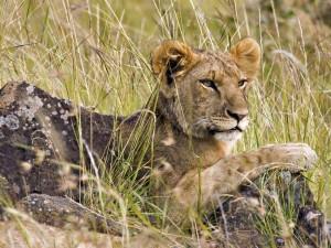 Postal: Un joven león en Masái Mara (Kenia)