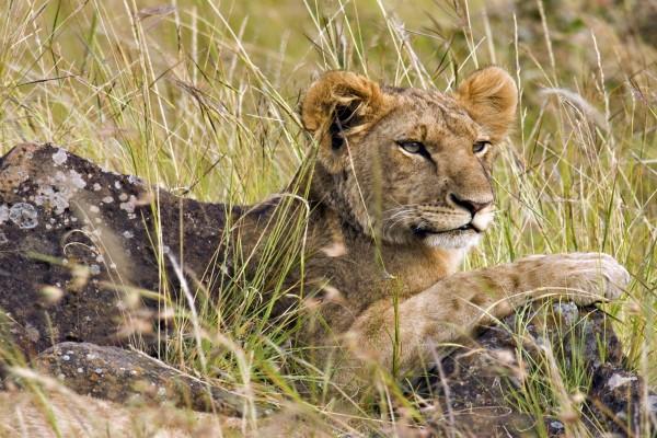 Un joven león en Masái Mara (Kenia)