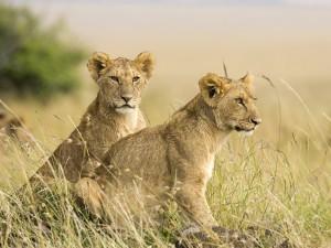 Dos jóvenes leonas en la reserva natural de Masái Mara
