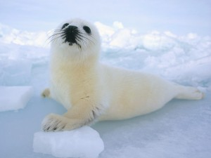 Postal: Una foca bebé sobre el hielo
