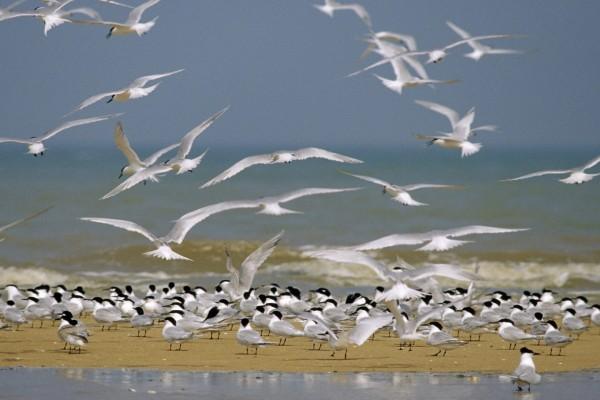 Bandada de golondrinas marinas en una playa