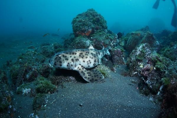 Tiburón gato en el fondo marino