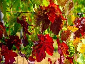 Hojas de otoño en una parra