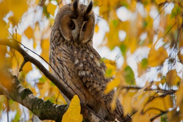 Búho en un árbol con hojas de otoño